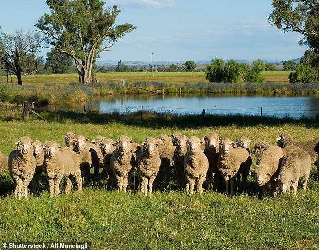 Australian wool farmers and lobby groups are calling for a manufacturing revival in domestic production. Pictured are merino sheep in regional NSW