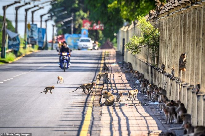 Residents of Lopburi have taken to putting bars across their windows to stop the monkeys getting in, claiming they are forced to live in cages while the animals have free roam of the streets