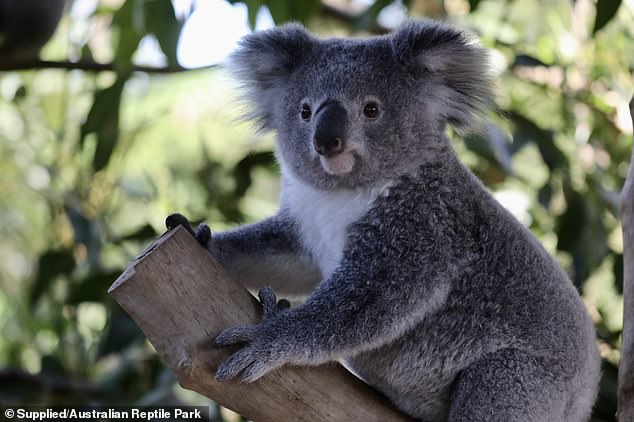 A koala is pictured at the Australian Reptile Park. The report released on Tuesday said the destruction of koala habitats from this year's horror bushfire season was accelerating the species' demise