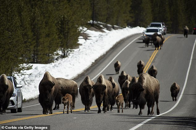 Experts estimate that there are approximately 5,000 bison in Yellowstone National Park