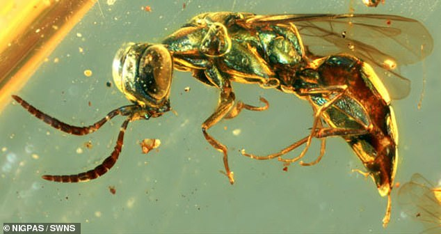 Most fossils lose their colour over time ¿ structural clues are usually not preserved ¿ which is why most fossil reconstructions rely heavily on artists¿ imaginations. Pictured, a green wasp