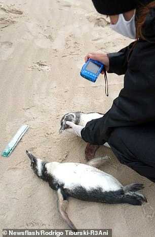 The dead penguins are carefully photo-documented