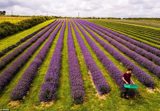 The lavender fields near St Keverne in Cornwall (above) usually turn bright purple with flowers in July but have bloomed two weeks early this year