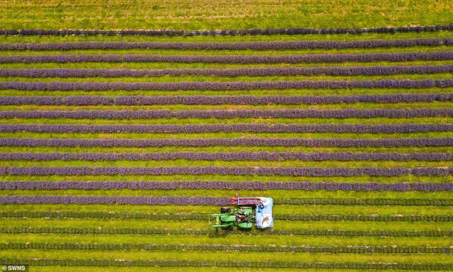 The rows of lavender are harvested in the mornings, before being taken back to the barn for steam distillation