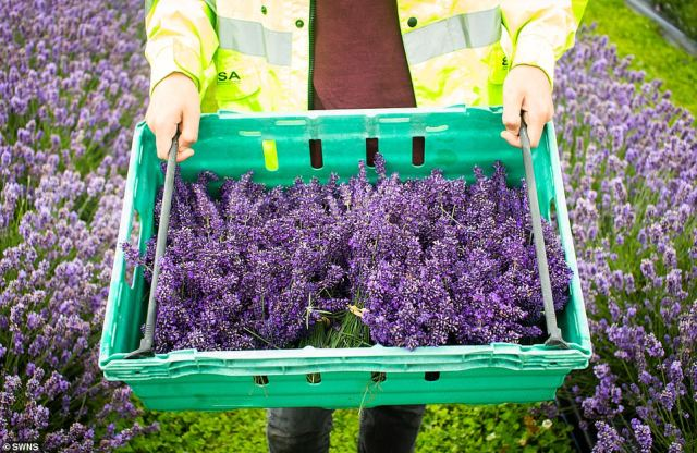 Above, a full crate of lavender is carried away by a worker after it was harvested atRoskorwell Farm