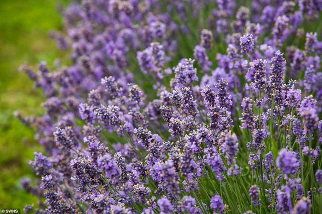 Mr Hall-Digweed has always worked in agriculture but said he turned to farming lavender after going on his honeymoon to Luberon, France