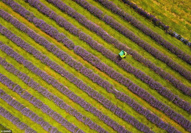 Lavender is most commonly commercially grown in the Provence region of France, as the climate, with mild winters and warm, sunny summers, is ideal for the flower's production