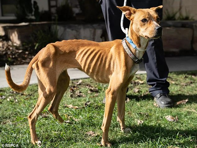 Delilah theStaffordshire bull terrier (pictured) was rescued from a Brisbane property in May of 2019 after being found so starved her ribs, spine and hip bones were exposed
