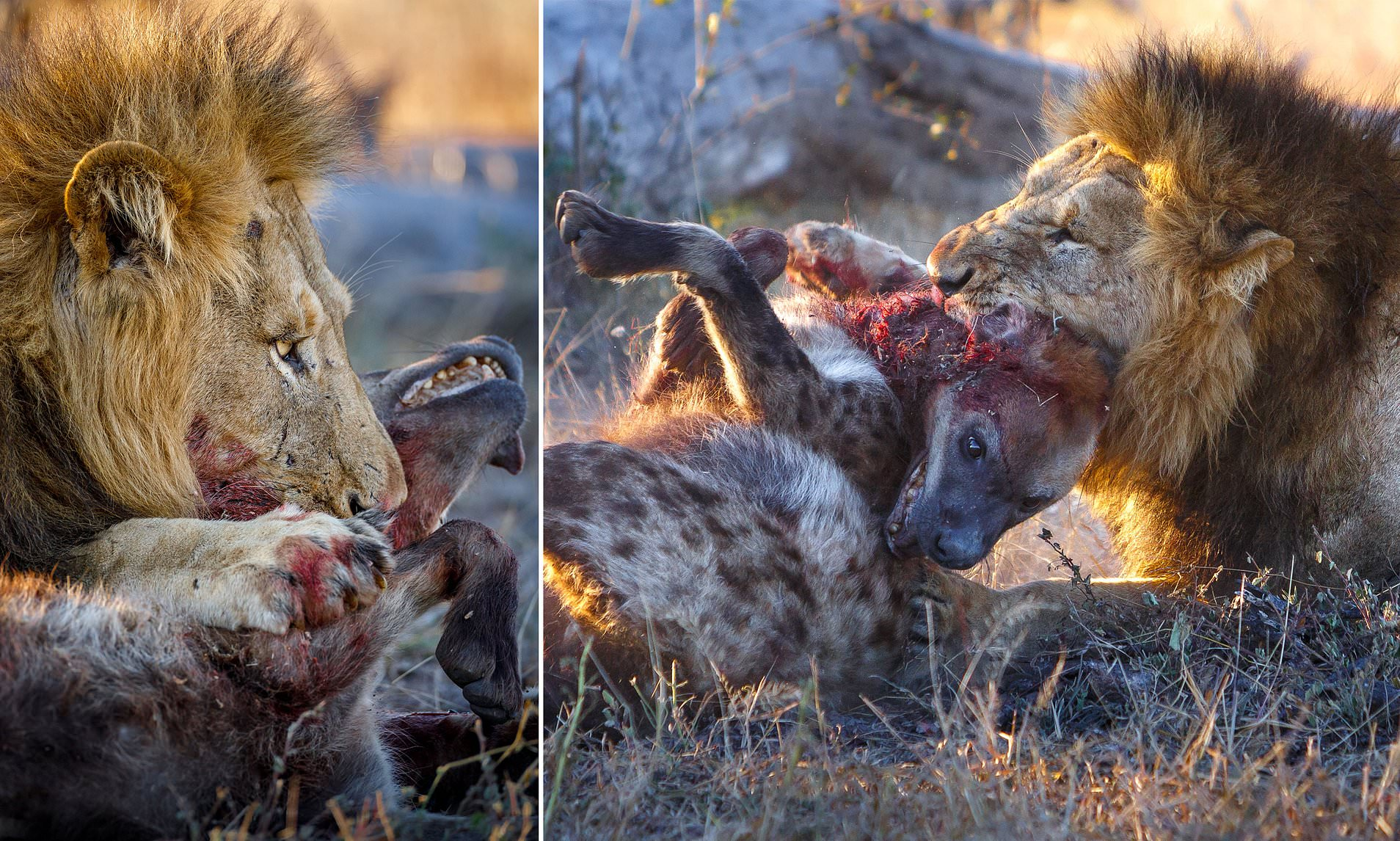 Hyena Is Ripped To Pieces By A Lion In Photos From South Africa Daily Mail Online