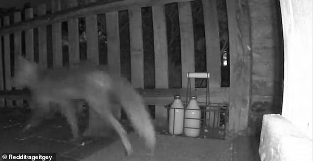 The fox returns and sniffs around the milk but decides against taking it and walks away