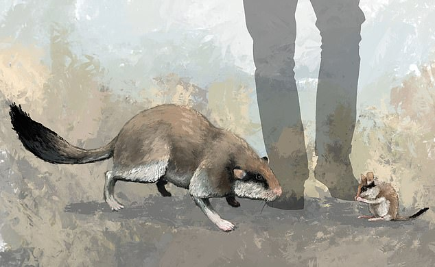 Scientists have reconstructed the four-inch (10cm) skull of a giant dormouse the size of a cat.The animal (pictured as it would have looked next to a modern dormouse) had ridges on its teeth, suggesting it ate grass and large plants instead of the seeds, nuts, and insects its descendants feast on