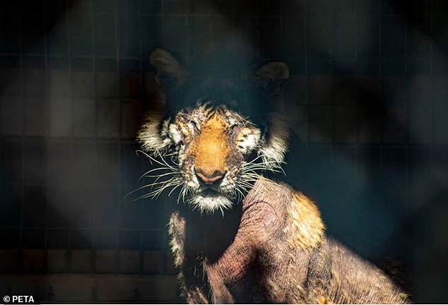 Poor thing:Kelly penned a letter to the owners of the of the Waccatee Zoo where Lila, a nearly bald tiger, is being penned and urged them to up an offer from PETA to let the big cat get the care it needs