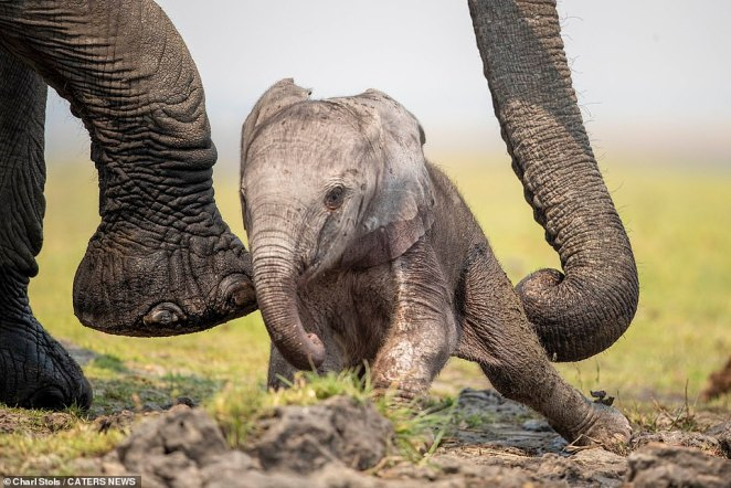 Luckily mum was on hand to help, and can be seen carefully lifting her precious offspring back up using her trunk and her feet