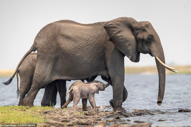 The newborn calf pictured under the protection of its mother at the edge of the Chobe River. WIldlife photographer Stols described the incident as a 'very special moment'