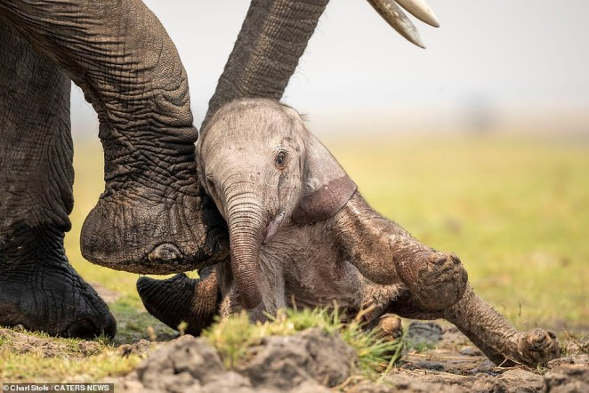 The mother elephant used her trunk and her feet to help get the baby elephant back on its feet. Stols watched the elephants interact for around 40 minutes