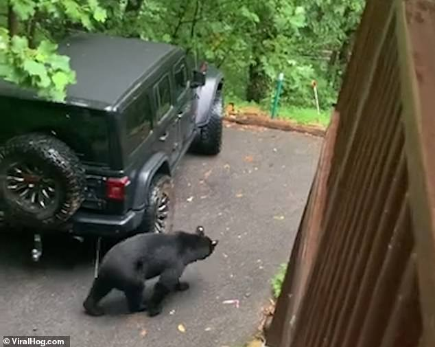 A curious black bear wanders out of the woods in Gatlinburg, Tennessee to take a closer look at a parked car