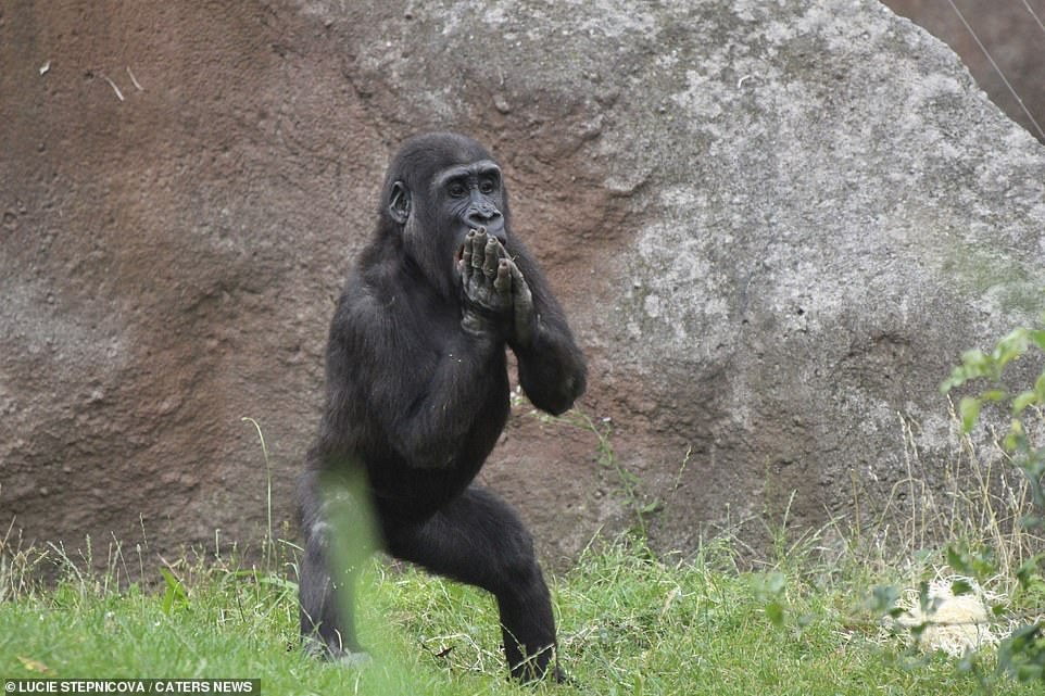 Lucie Stepnicova, 33, who took the photos of the gorilla clapping while stamping his feet said 'Ajabu likes to clap and stamp, it entertains not only visitors but also his own family'