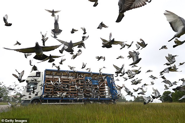 An autopsy has already revealed one of the dead pigeons had a motoring fluid known as AdBlue in its gut.Club des Internationaux Français has now withdrawn all its 2,000 entries from theBarcelona 2020 race (stock image)