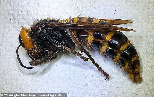 Agriculture officials now have just around two months to find the rest of the Asian giant hornets in Washington before mating season begins mid-September