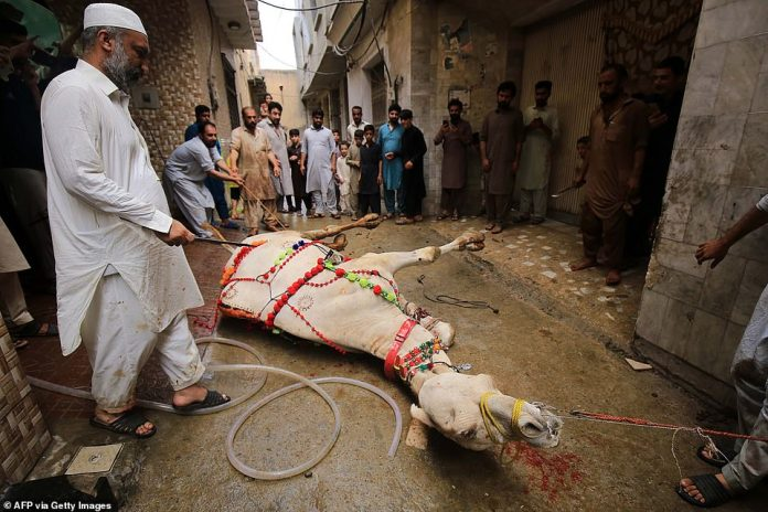 Muslim worshipers prepare to slaughter a camel during Eid al-Adha or the 'Festival of Sacrifice' in Peshawar
