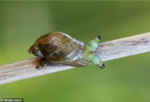 Leucochloridium paradoxum is a parasitic flatworm that uses gastropods as an intermediate host