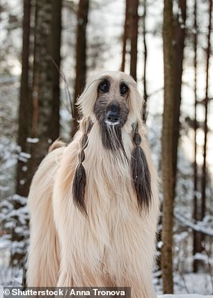 Woof!But some fans think he looked more like an Afghan Hound (pictured)