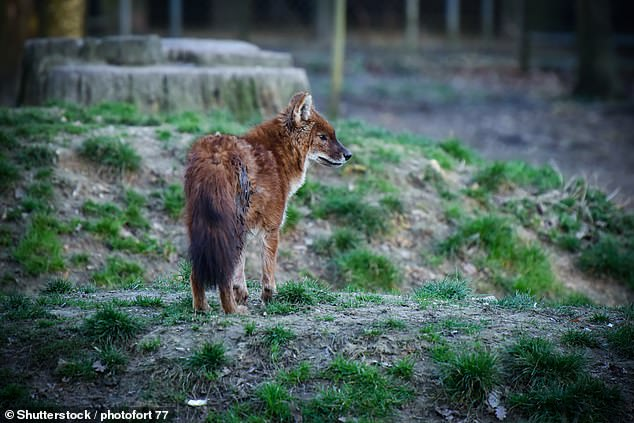 Dholes ¿ the Asian wild dog, pictured ¿ have vanished from 95 per cent of all reserves, while wolves have disappeared from 77 per cent and snow leopards from 38 per cent(stock image)