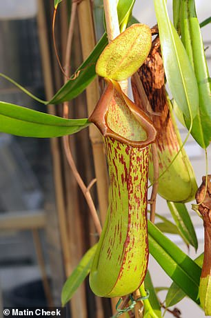 The pitcher plant Nepenthes biak, a terrestrial climber that is endemic to limestone coastal cliffs in the lowland evergreen forest zone of Biak island in Indonesian New Guinea