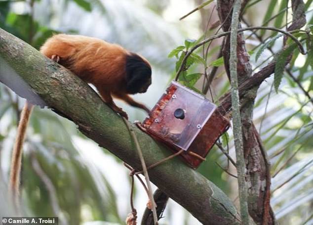 Dr Camille Troisi from the University of St Andrews in Scotland studied wild golden lion tamarins and found the first ever evidence of the species sharing food in the wild