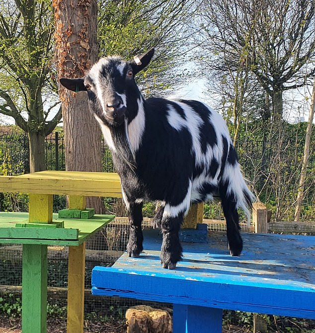 Normally, excited visitors would suddenly appear, all vying to pat the pint-sized herd of pygmy goats. But today, like every day since the zoo closed its doors on March 21, no one arrives