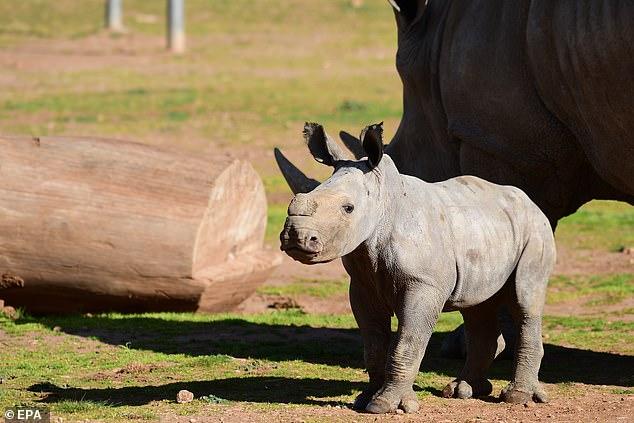 A new Southern White Rhino calf exploring the enclosure at Monarto Safari Park in South Australia, Australia