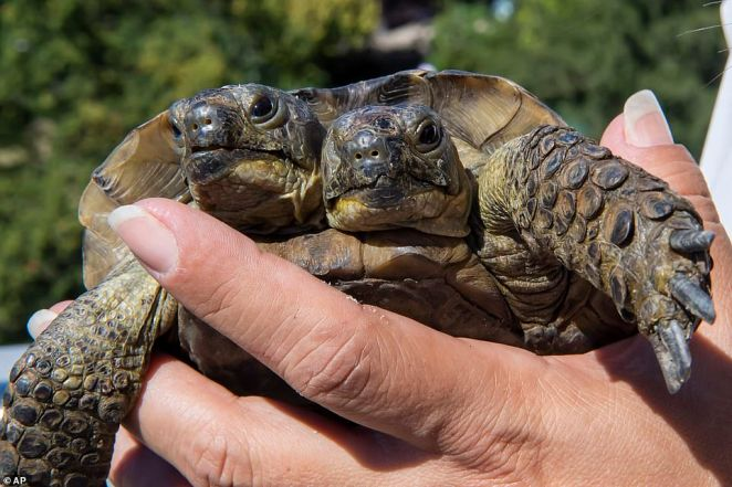 The two headed tortoise could be the oldest of its kind as it turns 23 next month. Janus is seen being picked up