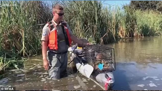 Swamp rates appeared in California, pictured, in 2017 and are already considered a pest