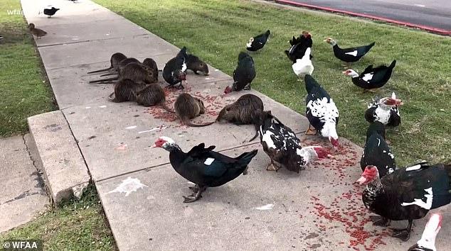 The rats have been seen eating pet food pellets alongside ducks