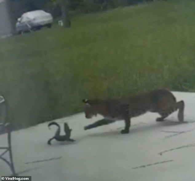 The bobcat and baby alligator fight to the death in a back yard in Port Charlotte, Florida, on Monday