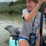 A seal of approval! Amazing moment curious seal nicknamed 'Gavin' climbs onto a paddle board