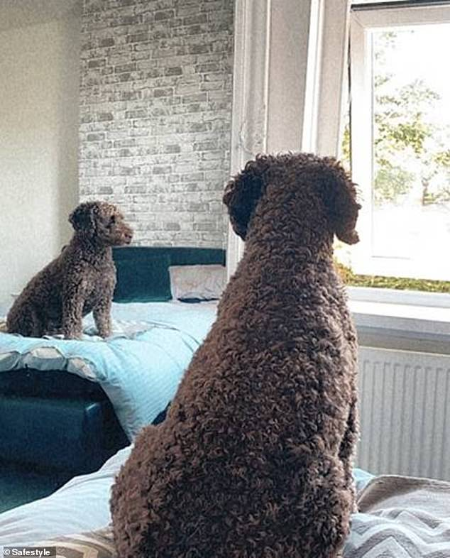 Ted, who bears a striking resemblance to a cuddly toy, from Newcastle loves to sit on the bed and look out the window. Ted's owner, Rachel, said : 'Ted - must be on guard (but also make sure you get my best side profile)'