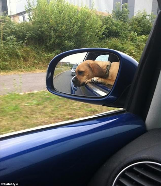 Hanging out! Another pooch stuck his head outside the car while his owner took him on a drive at an unknown UK location