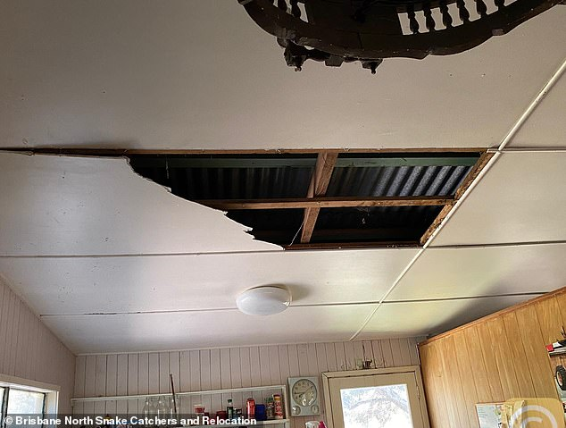 Queensland manDavid Tait returned home on Monday to discover two massive coastal pythons had crashed through his ceiling (pictured)
