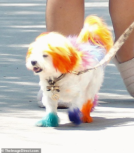 Woof: There's no mistaken Aubrey's multi-colored little dogs