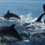 Personal dolphin whistles are recorded for the first time to help estimate population sizes