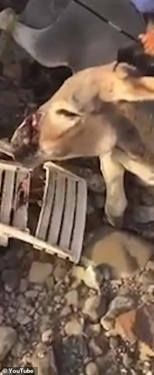 The incident caused cuts to the animals snout and throat