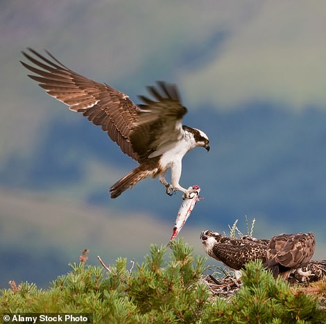 It is a criminal offence to disturb rare ospreys, which are protected birds of prey in the UK. There are currently only five breeding pairs in the whole of Wales