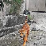 Animal charity offers reward to trace the yob who painted a dog to look like a tiger in Malaysia