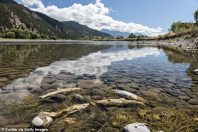 Hundreds of dead mountain whitefish have washed ashore the Yellowstone River in Montana, launching an investigation into the cause of death.Biologists on the case have counted around 200 bodies along the river between Big Timber and Livingston (pictured is images of dead fish that died from the same parasite in 2016)