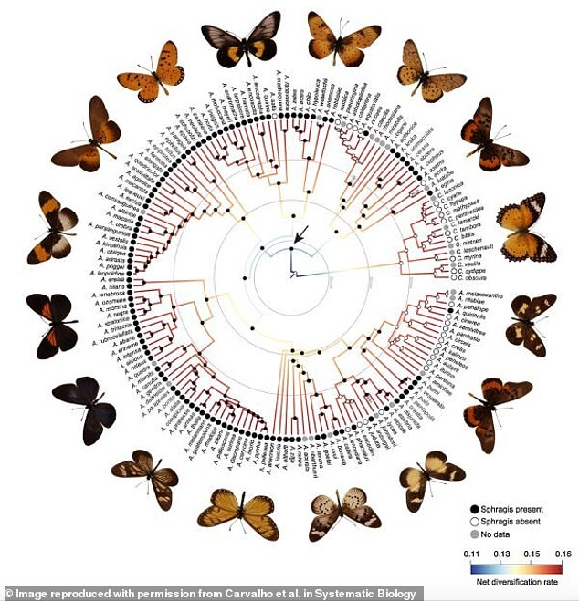 Data from specimens at the Florida Museum of Natural History was used to track the evolution of mating plugs across the Acraeini butterfly tribe. Black dots mark the appearance of the trait in various lineages