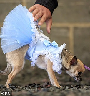 Meanwhile Dolly the Chihuahua dog was among those who dressed as Alice in Wonderland for the event