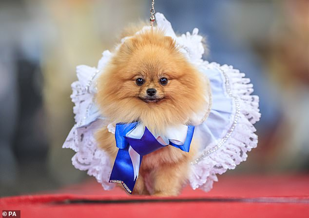 Pooches of all shapes, sizes and breeds were dressed up in various outfits to be crowned best king, queen, prince and princess at the 'Furbabies' event in Yorkshire (pictured,Tallulah the Pomeranian dog dressed as Alice in Wonderland)