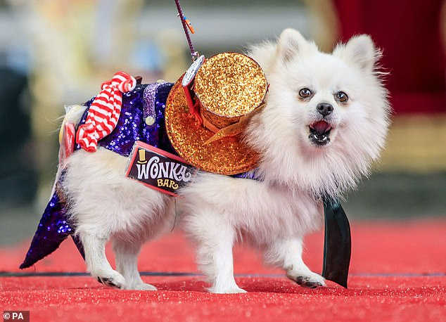 Meanwhile other pooches dressed up under the theme of Willy Wonka for the occasion (pictured,Bailey the Pomeranian)