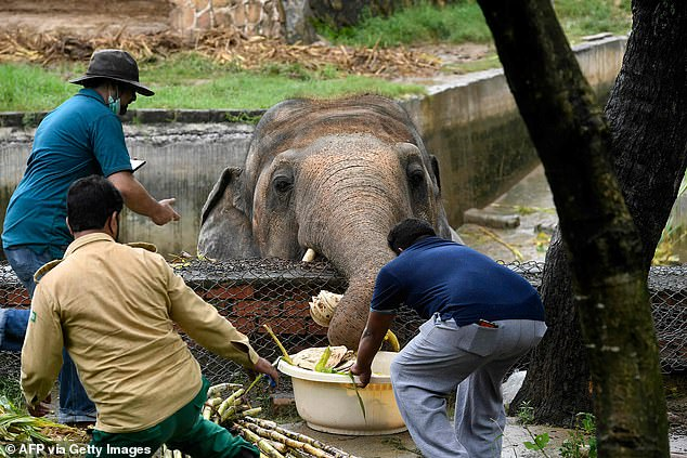 Local wildlife officials and veterinarians of Four Paws International, feed Kavaan, the elephant slated to be moved to a sanctuary in Cambodia after it became the subject of a high-profile rights campaign backed by music star Cher, in Islamabad yesterday